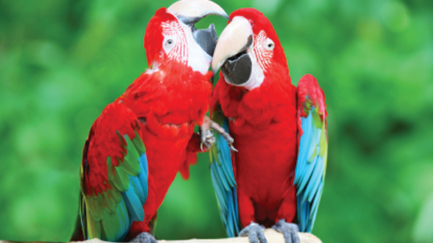 Green Winged Macaw